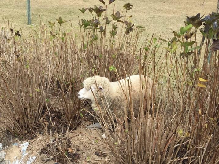 躲在一邊的綿羊