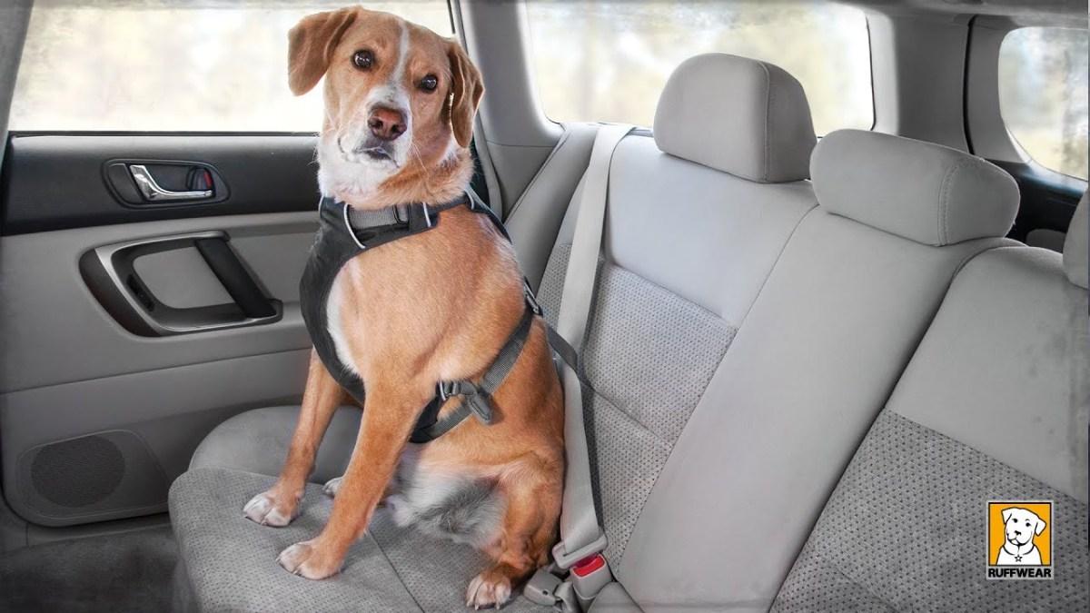 Llevar mascota en el coche
