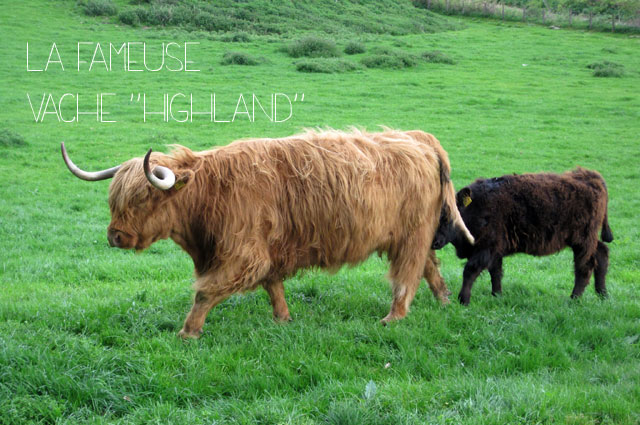 Ile de Skye vache highland