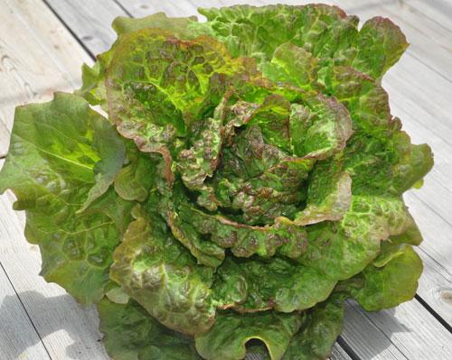 salade potager de balcon