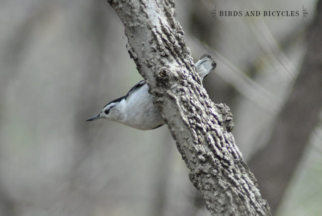 oiseaux du québec (8)