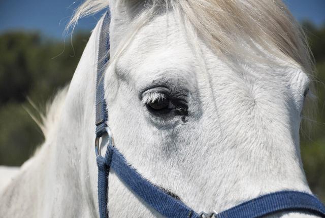 cheval-camarguais