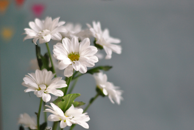 Bouquet de marguerites