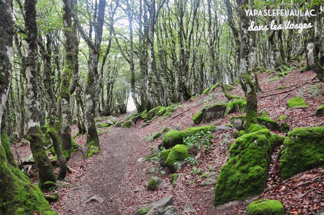 Foret de hetres dans les Vosges - Rando Tour du Kastelberg