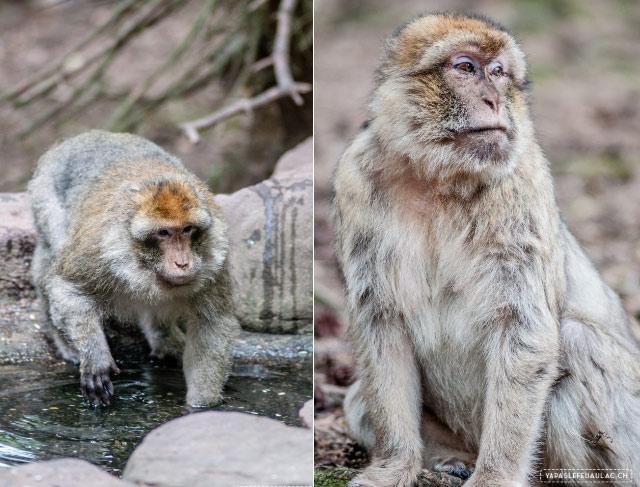 Le site de Montagne des singes oeuvre pour la préservation des macaques de Barbarie. Des idées pour un week-end en Alsace autour de la montagne des singes sur le blog Yapaslefeuaulac.ch