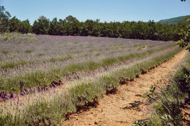 Champs de lavande - Escapade en Provence sur le blog