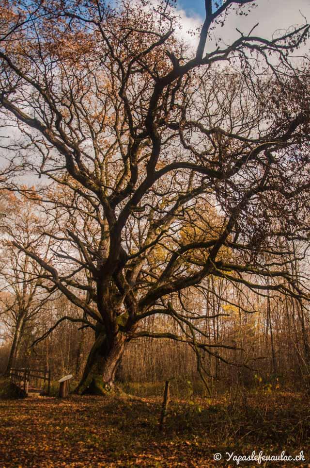 Le vieux chêne de l'étang de Lachaussée