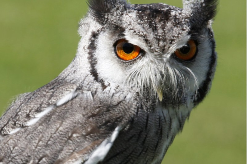 southern-white-faced-scops-owl
