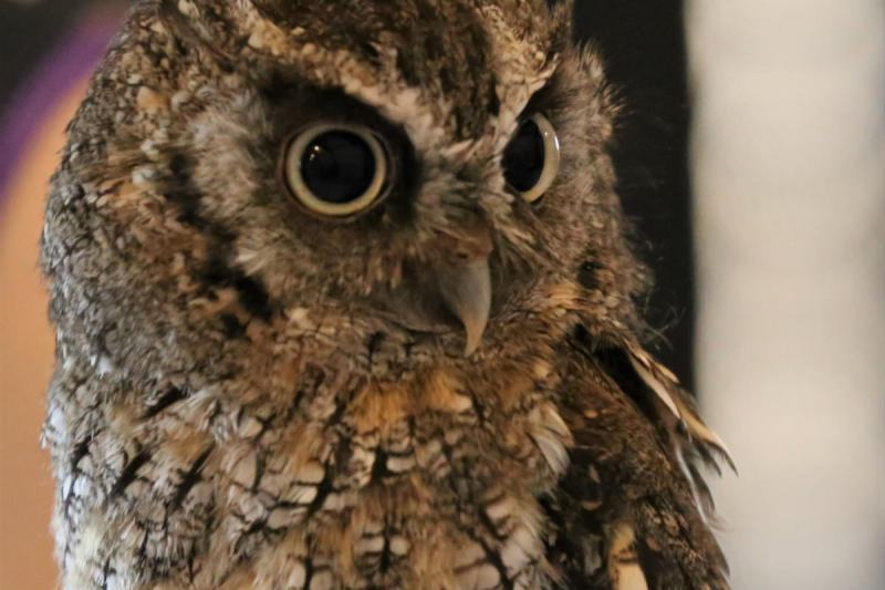tropical-screech-owl