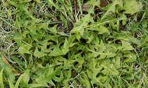 Common Lawn Weeds - Dandelion