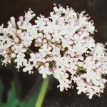 Valeriane une plante pour le sommeil