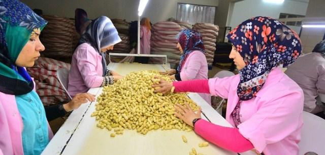 Yer fıstığı üreticileri iyi bir sezon bekliyor