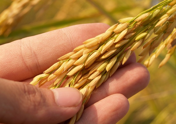 TMO 15 Kasım'da çeltik alımına başlıyor - Bitkisel Ürünler - Yaşam için Gıda