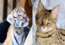 OMG ऑनलाइन बिल्ली खरीदी, गलती से घर पहुंच गया बाघ का बच्चा, जानें फिर