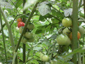 20150614利用者様、職員共々で収穫の時期を待ち望んでいます。