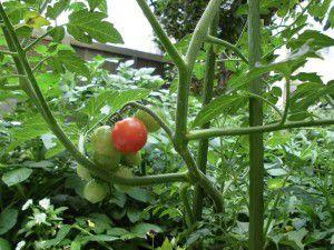20150614利用者様、職員共々で収穫の時期を待ち望んでいます。2