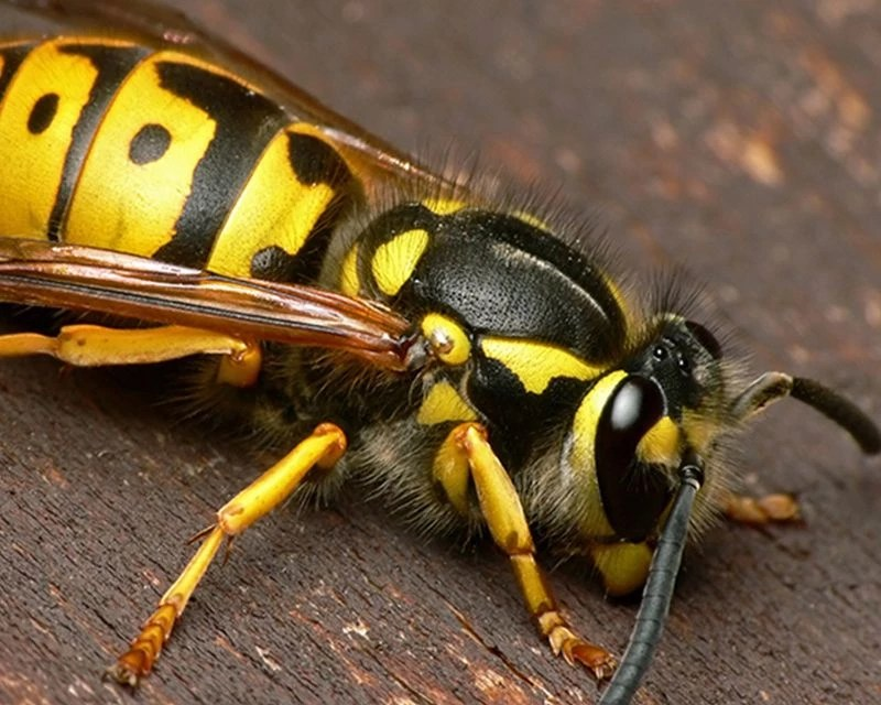 European And Paper Wasps