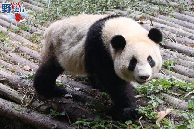 四川成都找尋可愛大熊貓 逛寬窄巷子、錦里古街品嚐特色小吃 @YA !野旅行-吃喝玩樂全都錄