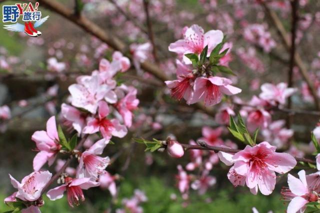 太魯閣國家公園小旅行 洛韶聚落水蜜桃花迎賓 @YA !野旅行-吃喝玩樂全都錄