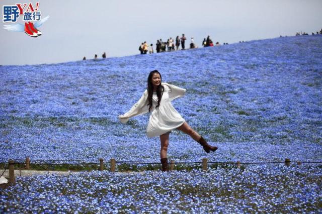 北關東春天最浪漫的風景 常陸海濱公園粉蝶花海 @YA !野旅行-吃喝玩樂全都錄