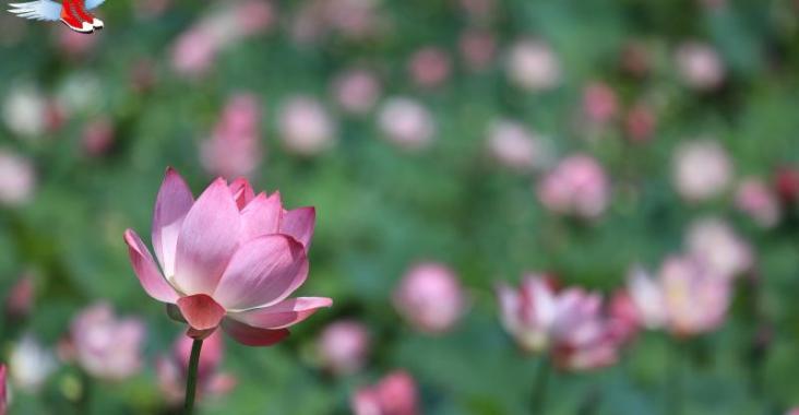 花東縱谷最美的風景 馬太鞍濕地荷花綻放 @YA 野旅行-陪伴您遨遊四海