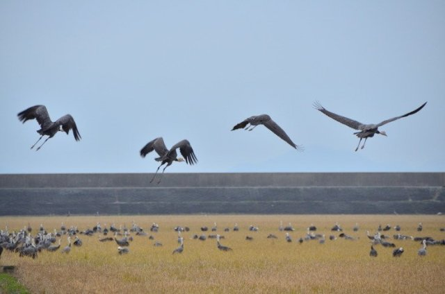 日本│九州 北薩騎單車 遇上萬隻西伯利亞鶴鳥 @YA !野旅行-吃喝玩樂全都錄