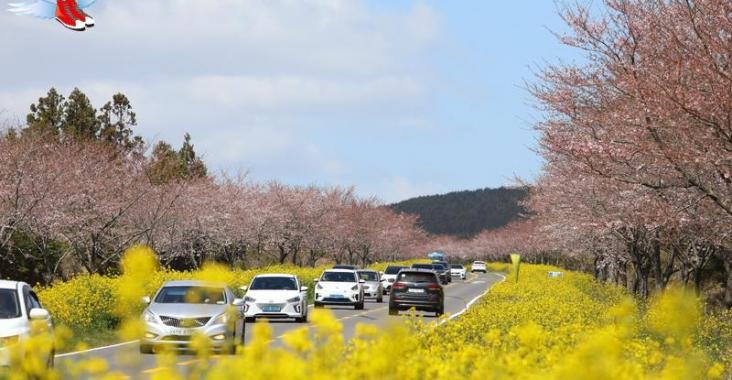 韓國濟州島 放眼所及皆美景 所到之處均浪漫的大櫻花季 @YA !野旅行-玩樂全世界