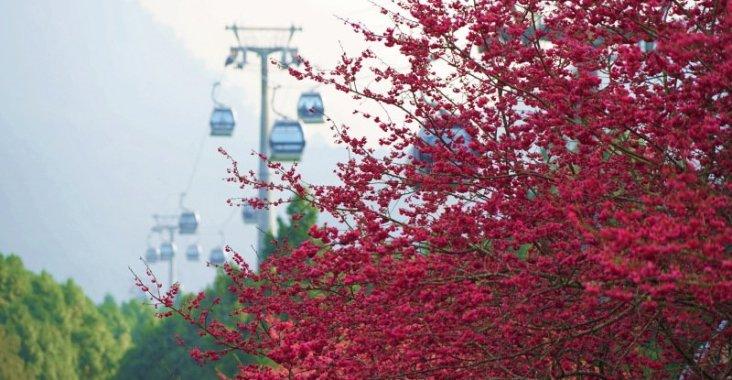 台灣賞櫻首選 九族櫻花祭春節過後登場 @YA !野旅行-玩樂全世界
