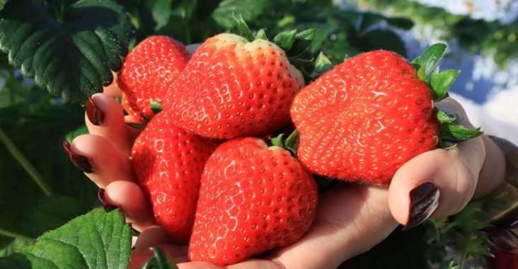 一莓一笑松森農園採果體驗 仙山必去草莓吃到飽 @YA 野旅行-陪伴您遨遊四海