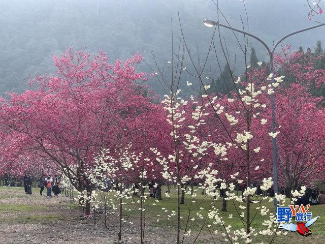 九族櫻花茶會在盛開的櫻花林下舉行,魚池鄉公所招待遊客品啜紅玉紅茶 @YA !野旅行-玩樂全世界