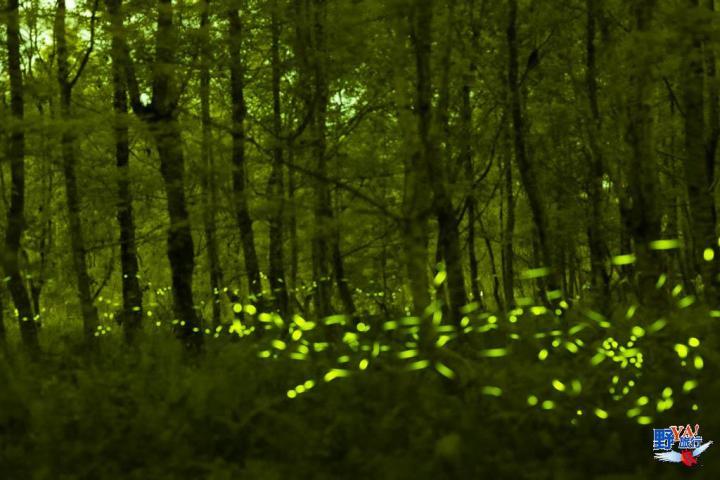 2021大農大富螢火蟲提早登場 快來花東縱谷感受螢火蟲圍繞的浪漫 @YA !野旅行-吃喝玩樂全都錄