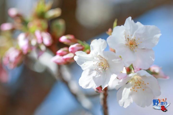 全台最高海拔粉紅秘境 福壽山千櫻園櫻花盛開 @YA !野旅行-吃喝玩樂全都錄