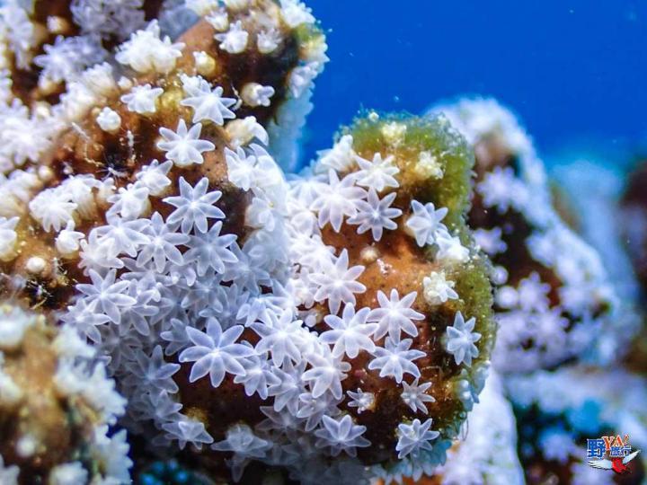潛進墾丁欣賞珊瑚產卵年度大戲 @YA !野旅行-吃喝玩樂全都錄