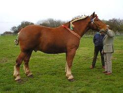 Suffolk Punch horse. The Destriers of the middle ages were robust, strong and responsive