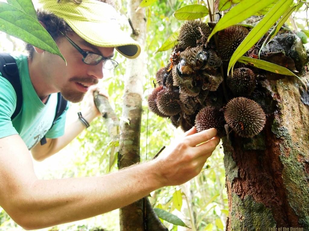 durio pinangianus
