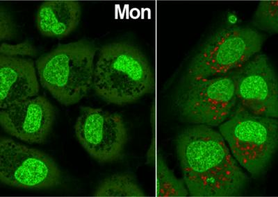 Novel HCV Antiviral Screening in FRG Mice