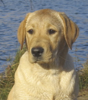 about yellow labs labrador