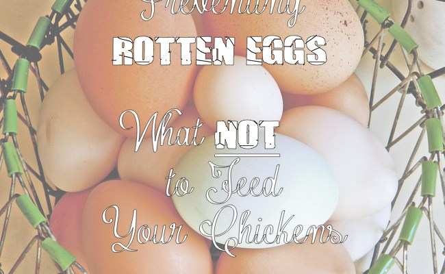 Yellow Birch Hobby Farm- Preventing Rotten Eggs- What NOT to Feed Your Chickens