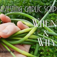 Garden Quick Tip: When & Why to Harvest Garlic Scapes