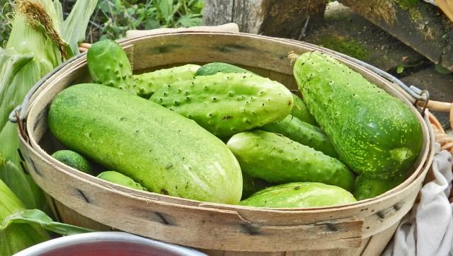 yellow birch hobby farm- cucumbers