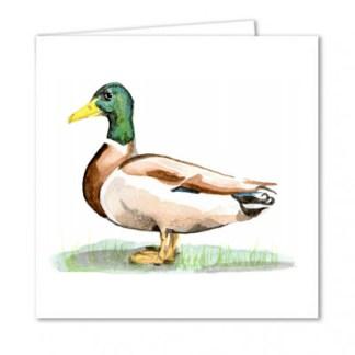 Dabbling Duck
