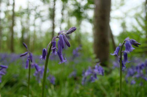 wild bluebells wild flower wild bloom fairhaven water garden woodland norfolk england