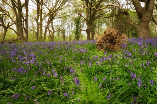 Enchanted forest woodland fairytale wild bluebells wild flowers wild bloom norfolk fairhaven england