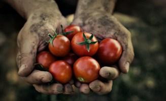 tomatoes_650.jpg