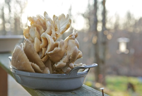 Oyster mushrooms in a pan. Photo by Chiot's Run / Flickr.