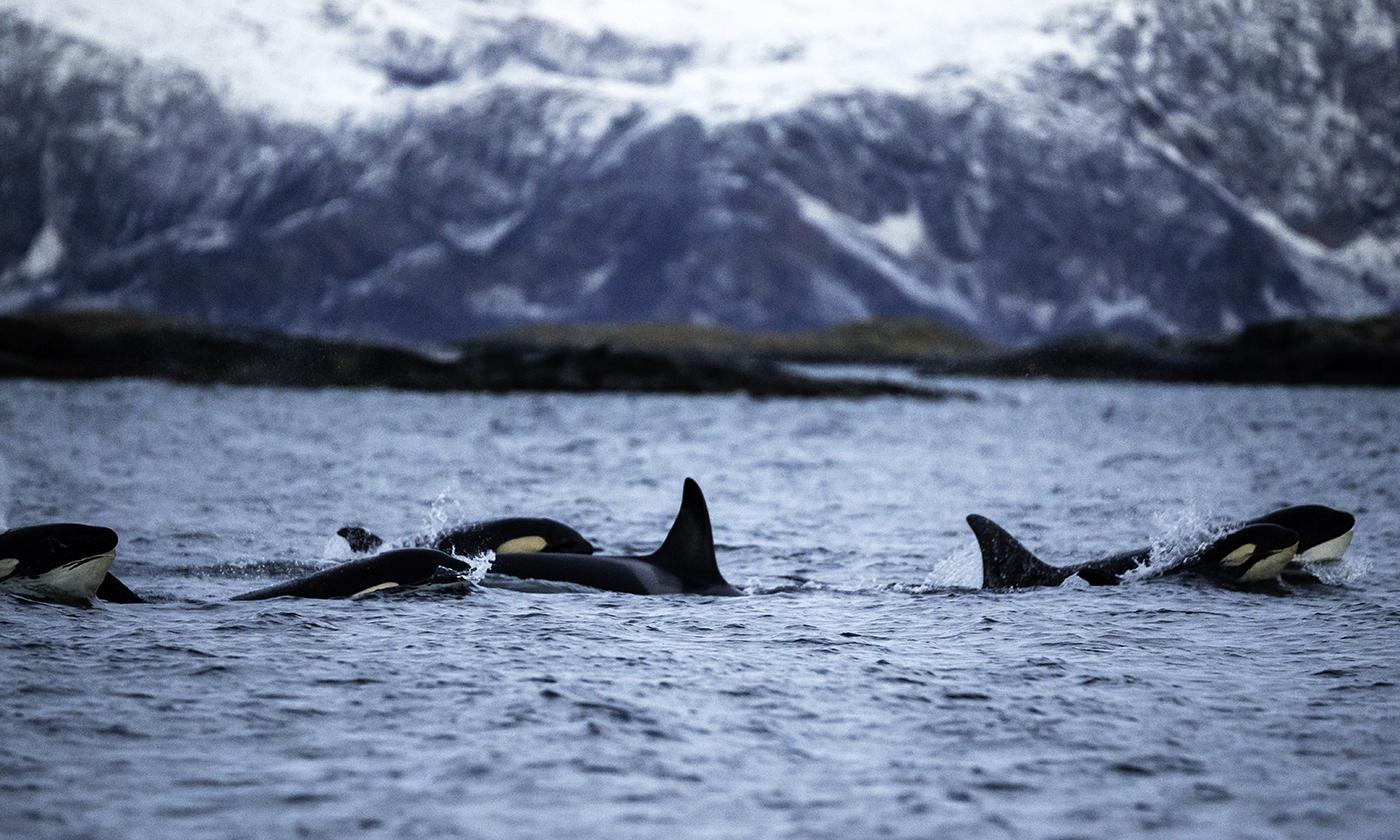 hot-flashes-killer-whales.jpg