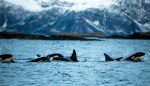 Hot Flashes and Killer Whales: The Evolutionary Advantage of Menopause