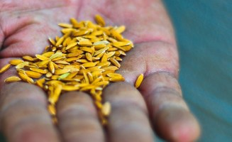 Hand with seeds by IRRI