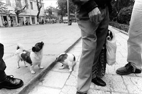 Pet Dogs for Sale, Hanoi by Karen Davis