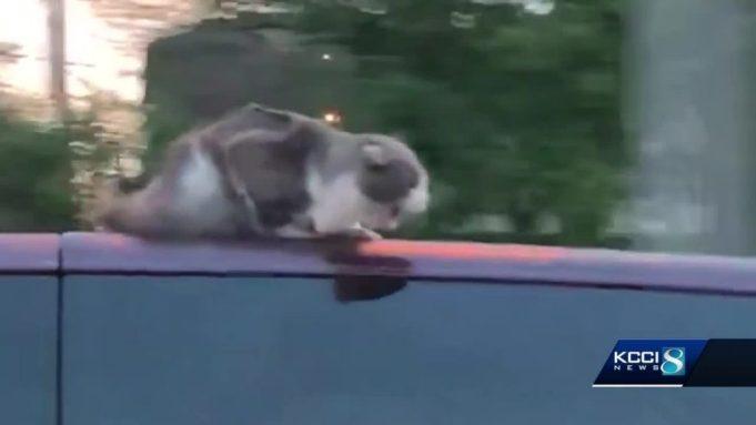 van surfing cat
